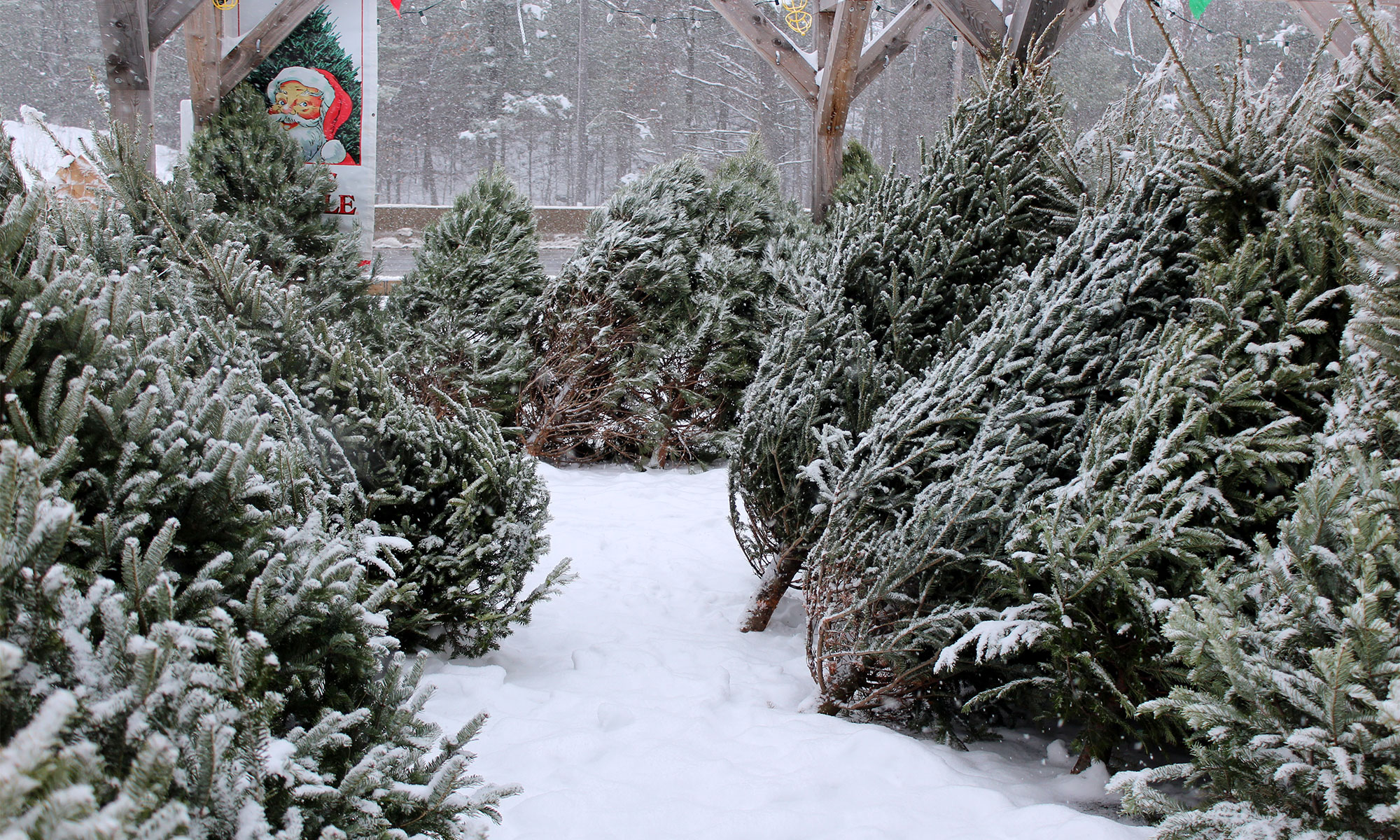 Various trees including Scots pine, Fraser fir, balsam fir, white fir and blue spruce.