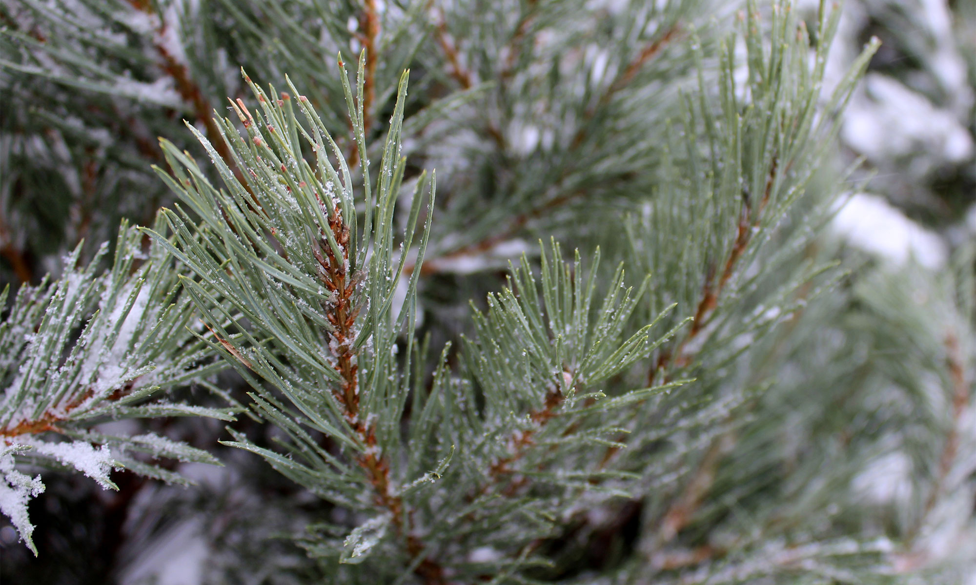 Scots pine branches.