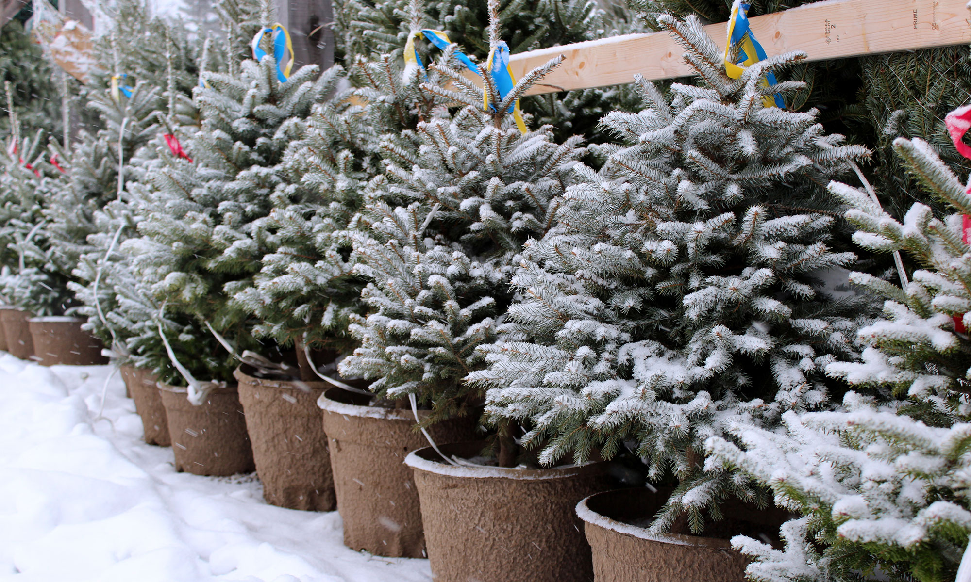 Blue spruce trees grown in containers.