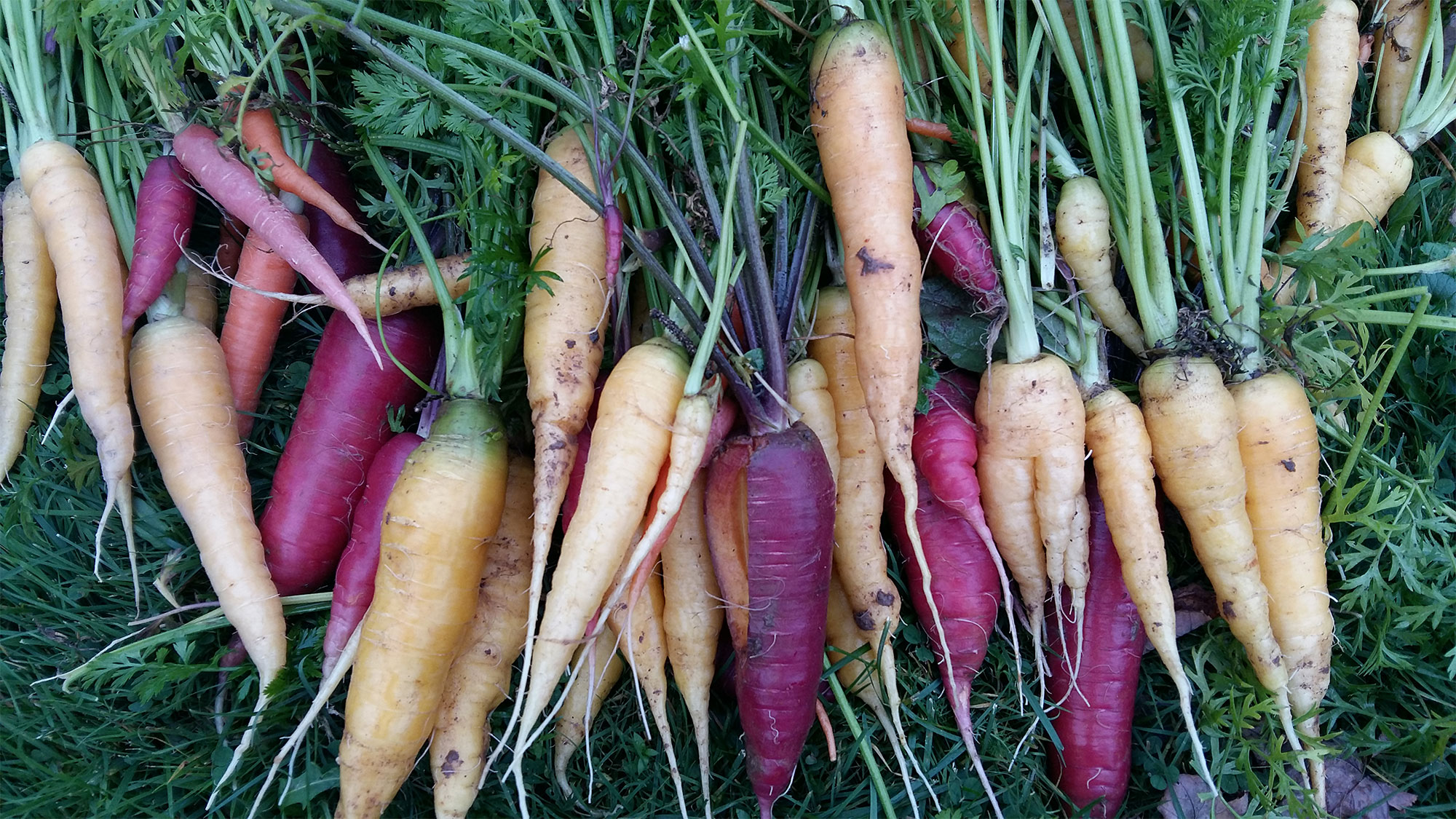 A bunch of carrots of various colors.