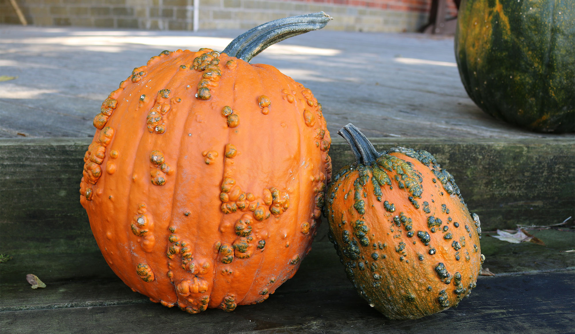 Wart-covered Knucklehead pumpkins