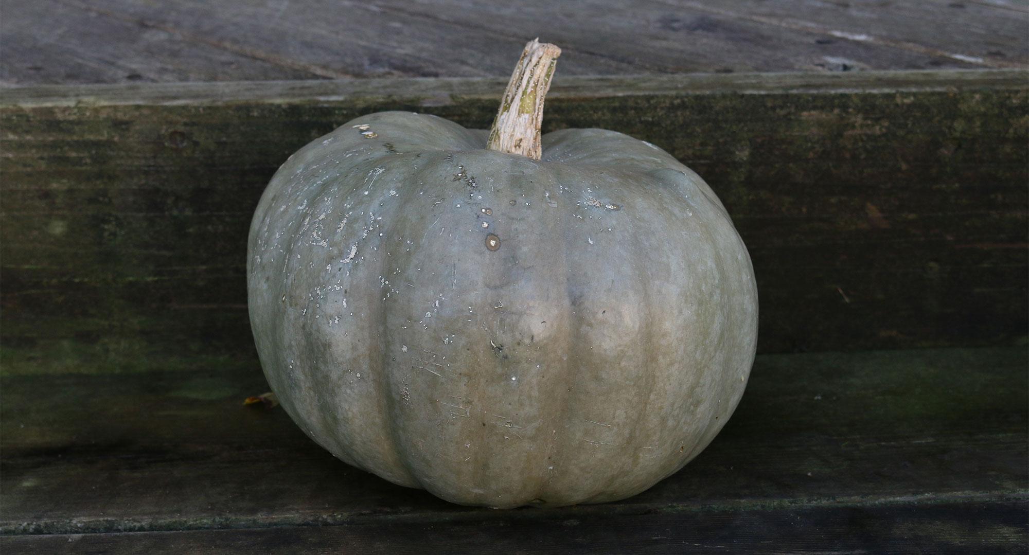 Australian Blue pumpkin