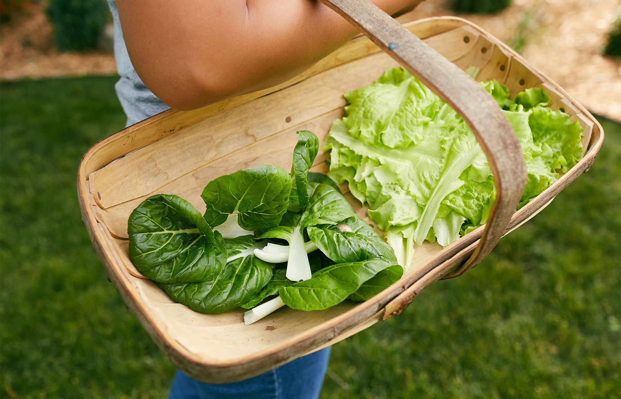 Early Harvest Tips. Harvested lettuce and bok choy leaves in a basket.