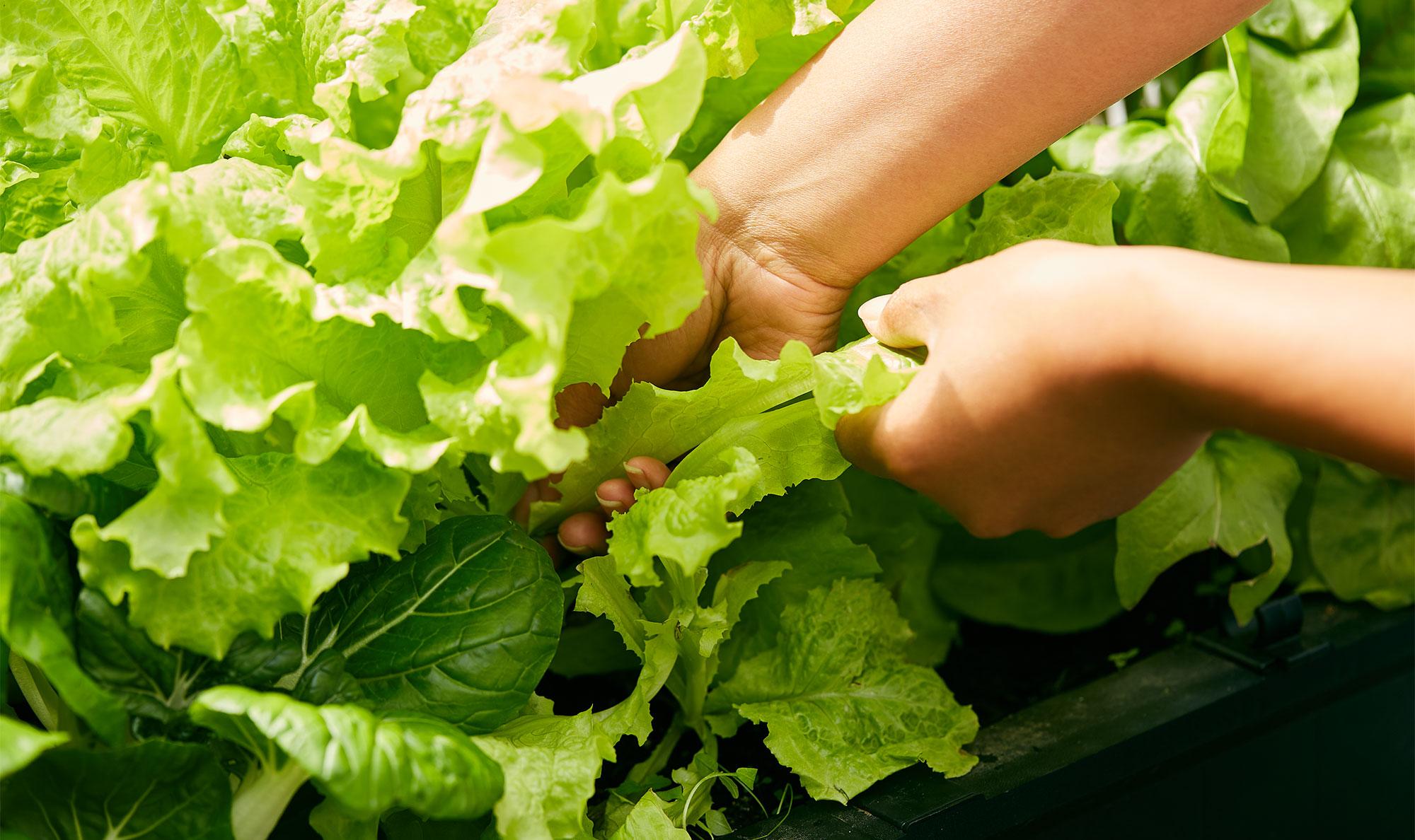 Harvesting lettuce leaves from the garden.