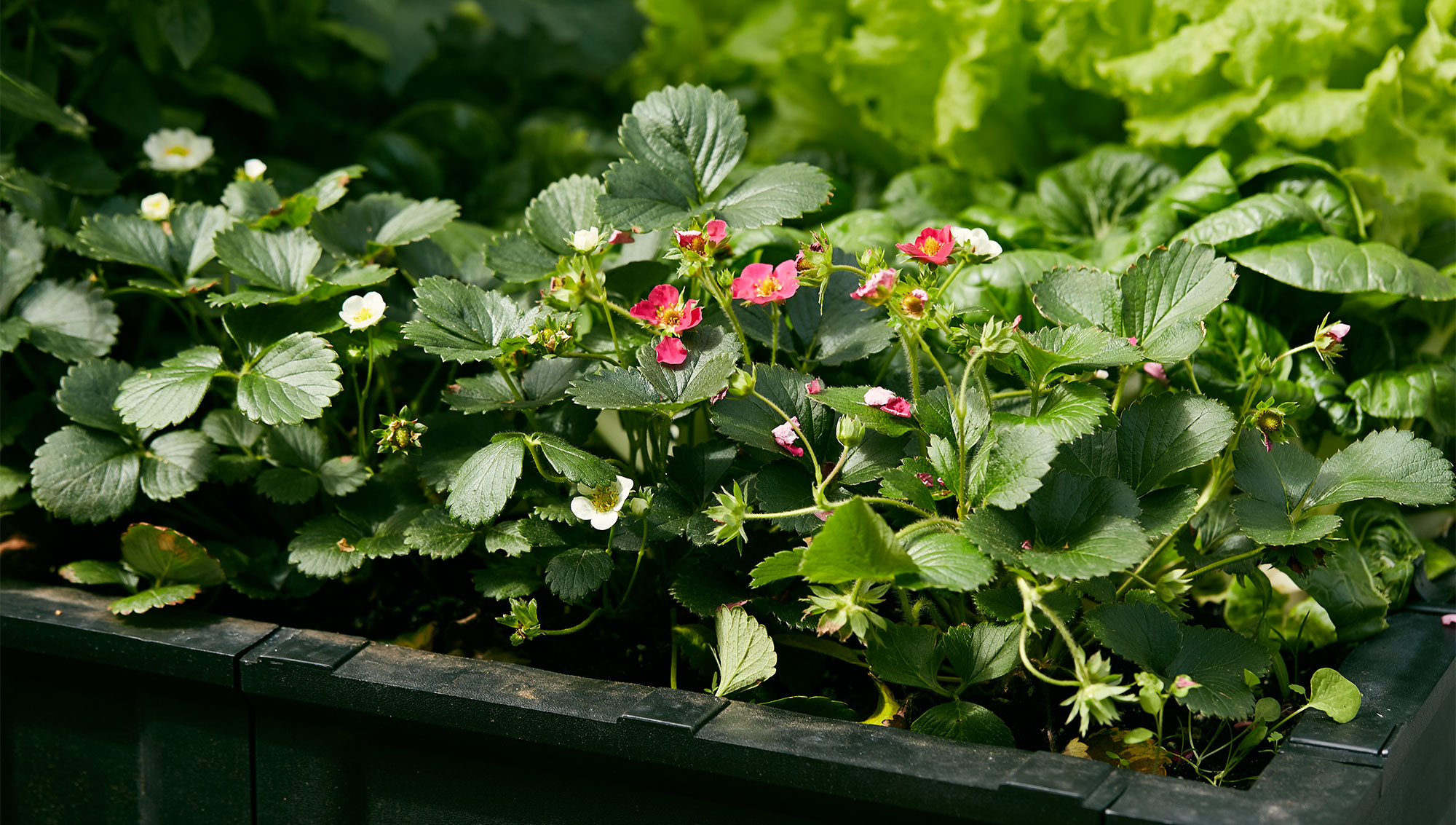 Strawberry plants growing in a raised-bed planter.