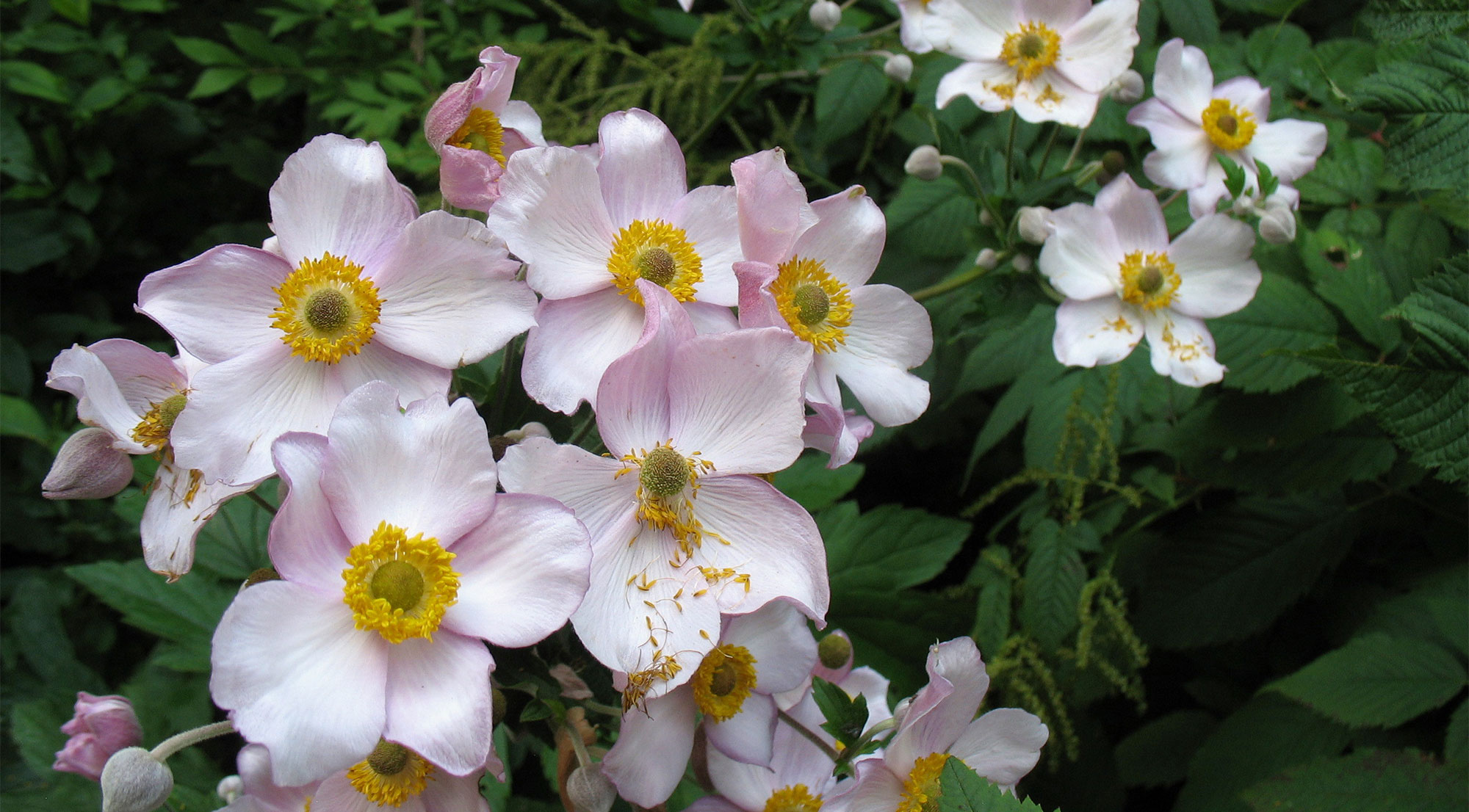 Flowers for the Summer Shade Garden. Cluster of Japanese anemone blooms.