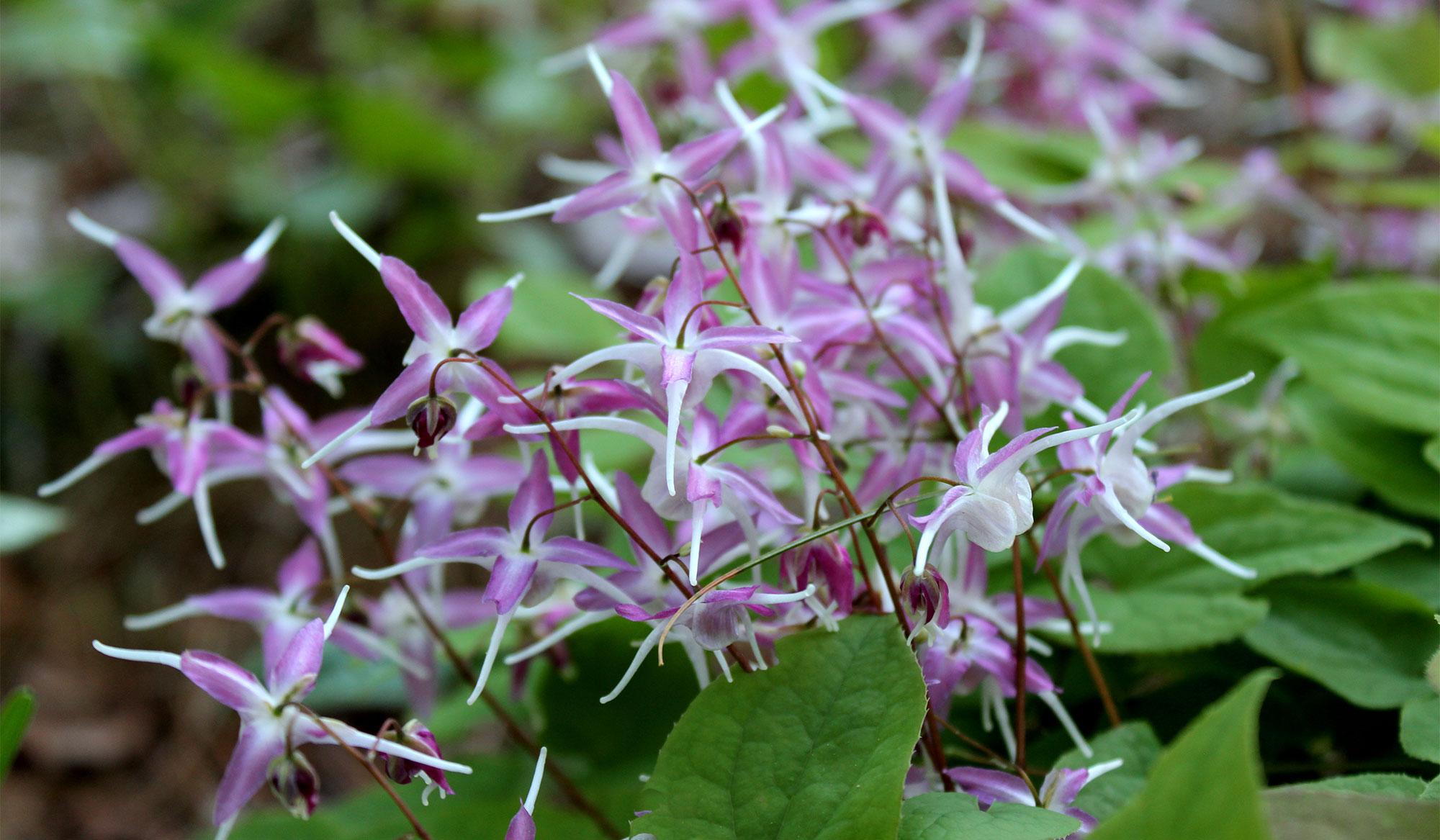 Barrenwort flowers