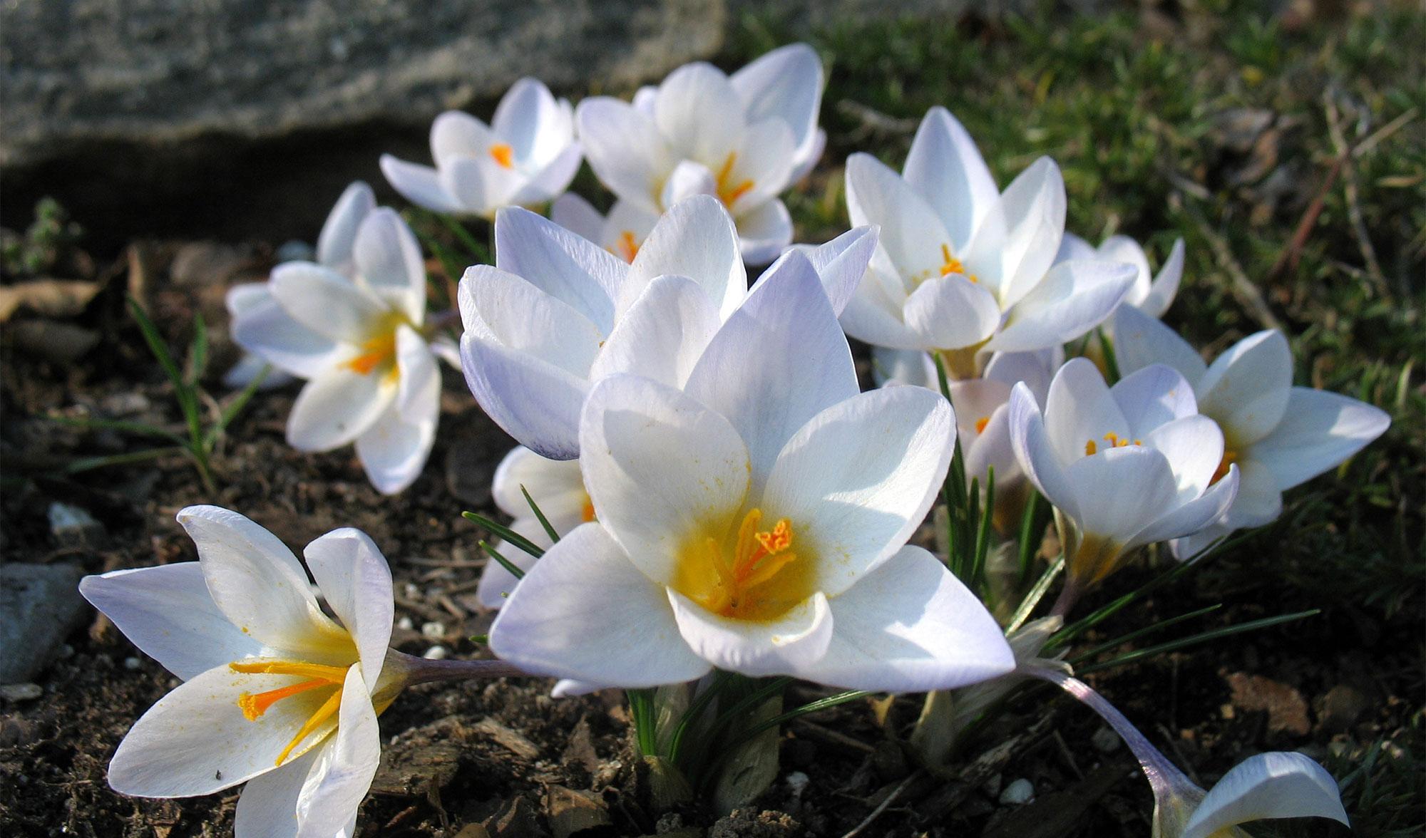 The Early Spring Garden. White crocuses.