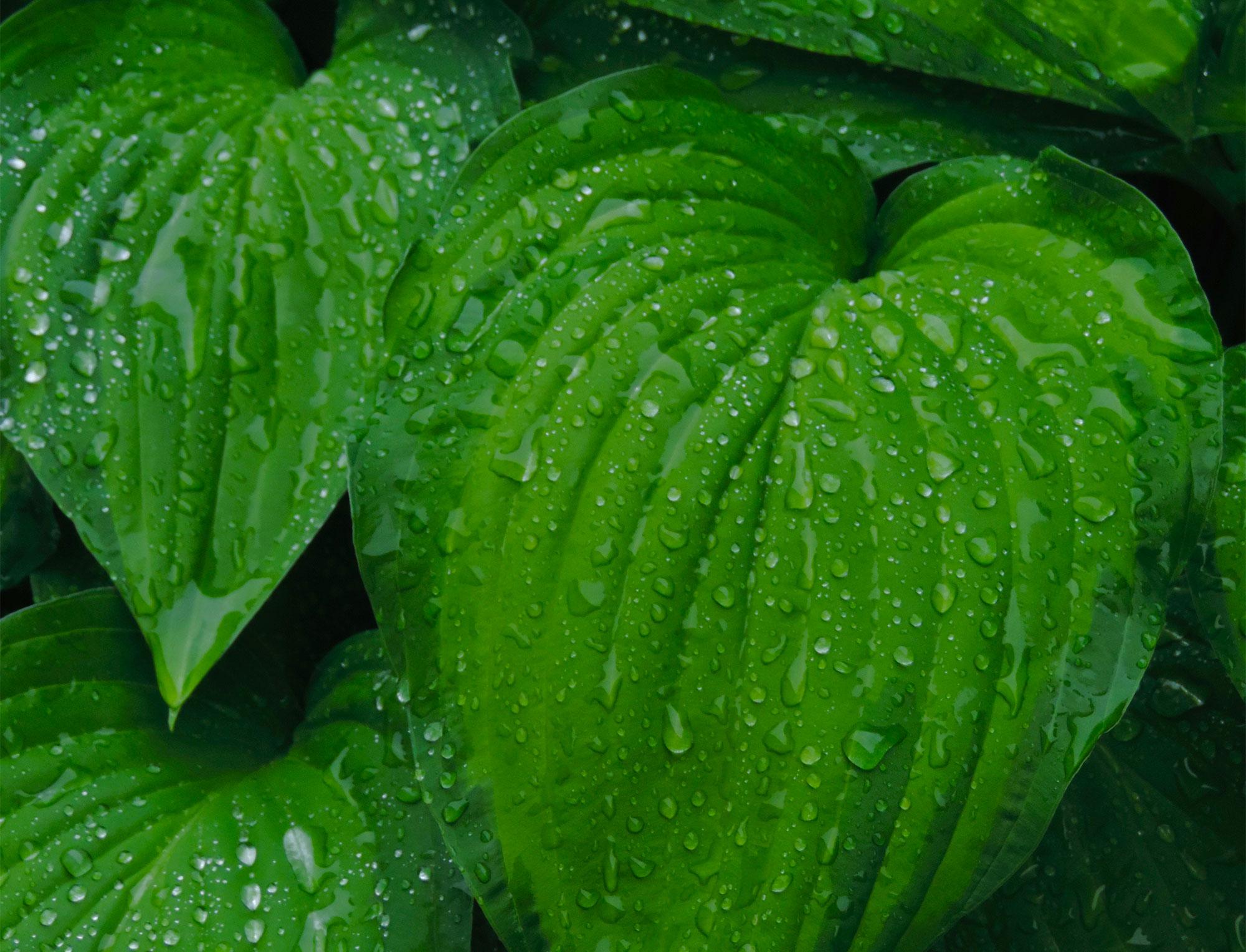 Raindrops on hosta leaves.
